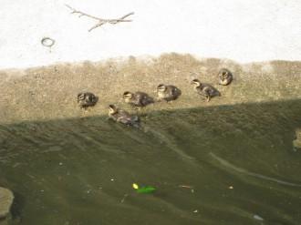 二ヶ領用水の赤ちゃんカルガモ