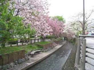 二ヶ領用水の八重桜・今井神社裏