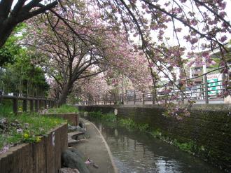 二ヶ両用水の八重桜・水辺から