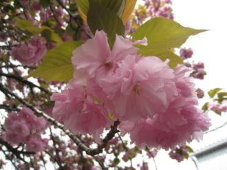 二ヶ領用水の八重桜・接写