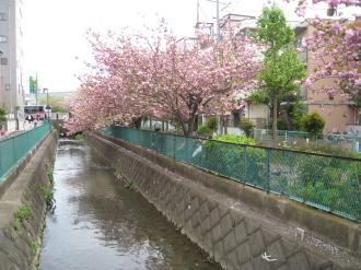 二ヶ領用水の八重桜・南部沿線道路沿い