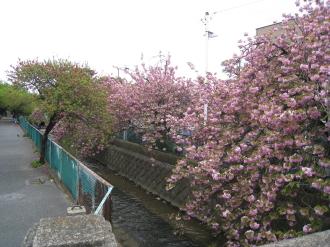 二ヶ領用水の八重桜・渋川との分岐点近く